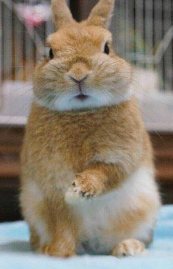 """早上起床,照个镜子却发现脸歪了,怎么办?或许你会很紧张,或许你会马上要去医院,但是有一只超淡定兔子,就自己解决了脸歪的问题。   有一位网友在网络上分享了3张自己家兔子的照片,结果却让看过的人笑到停不下来。因为这位网友家的兔子就是早上起来发现自己的脸居然歪了,你以为但是接下来的动作就让萌化了所有人!   这只兔子一大早起床,发现好像有什么不对劲:""""咦,自己的脸怎么歪了? """"    算了,没关系自己揉一揉就好了。    看吧,果然有效果,我又恢复了原来帅气的一张脸。"""