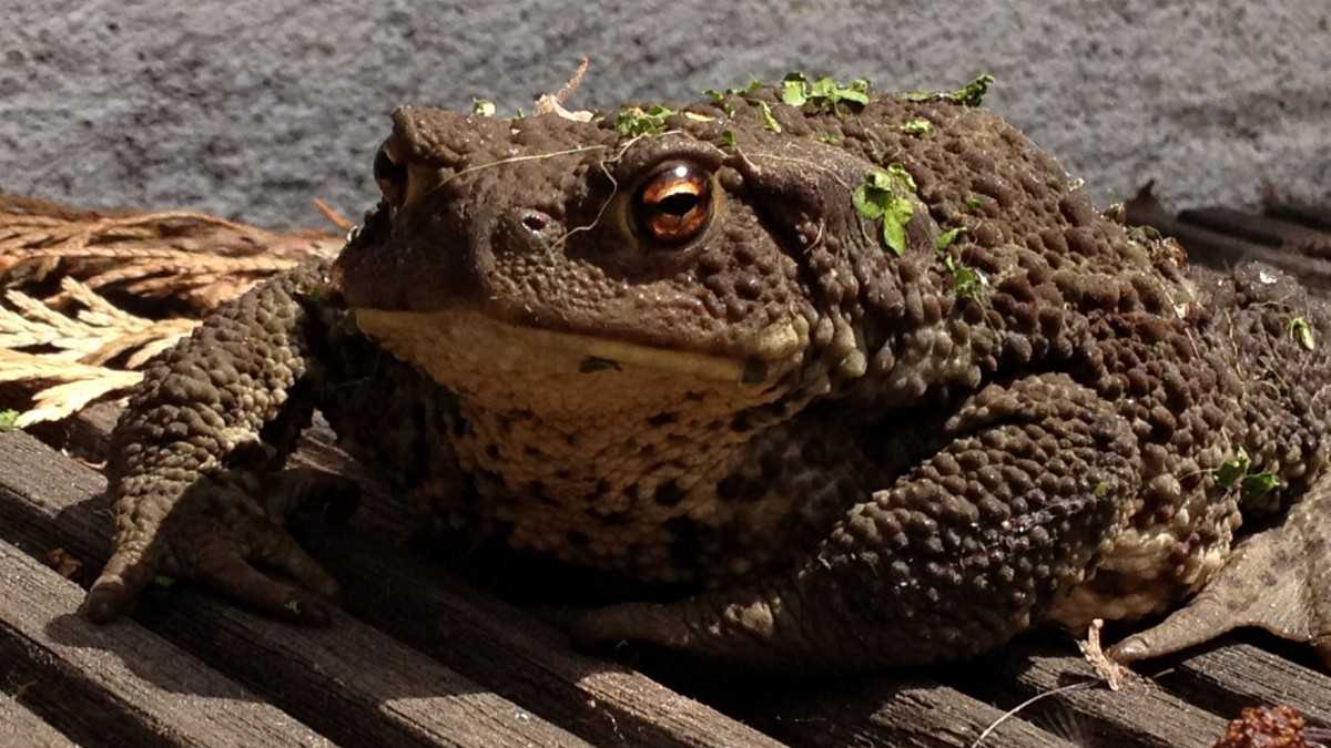 Pictures of toad