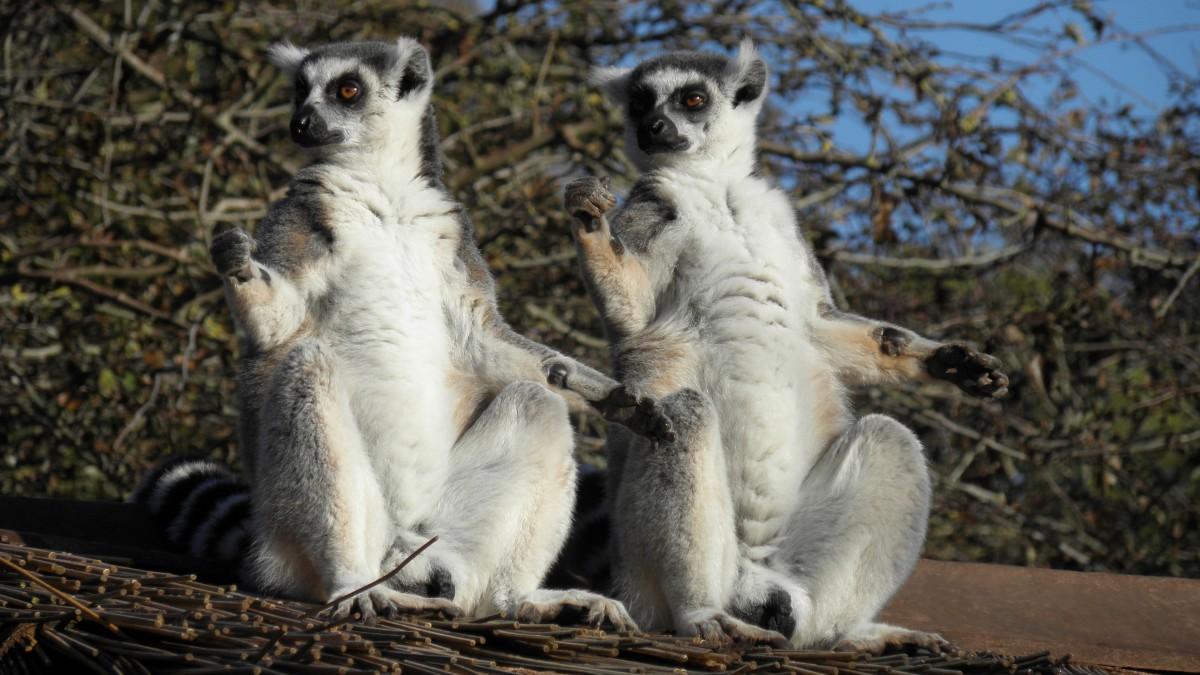 HD lemur picture
