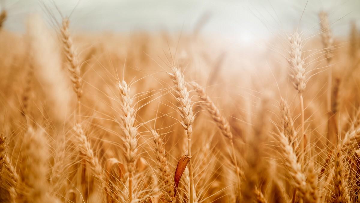 金黄的麦田图片