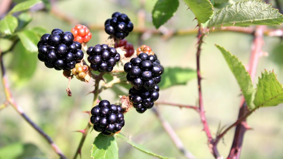 枝头上的黑莓图片大全