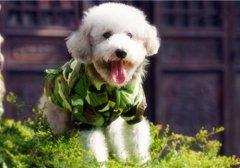 卖萌贵宾犬背景图片_机灵可爱的贵宾犬