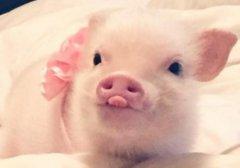 2019猪年可爱呆萌图片_精致的小猪猪