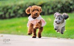 有爱泰迪犬图片_小泰迪的生活