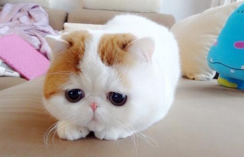 蠢萌大脸猫可爱图片_委屈小可爱大脸猫